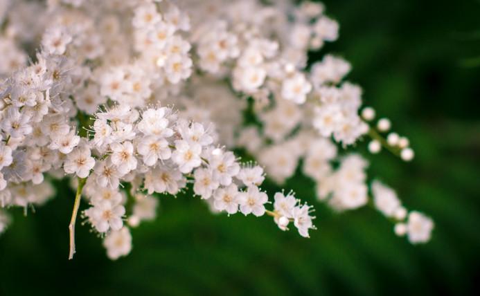 White Sakura Blossoms